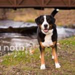Swiss Mountain Dog: Scout