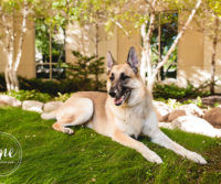 German Shepard Bailey October 2016 Dog of the Month