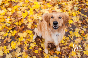 Gorgeous Golden Waffles November 2016 Dog of the Month